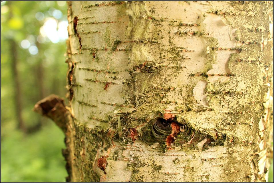 The Bark, Birch, White, Tree, Forest, Green, Closeup