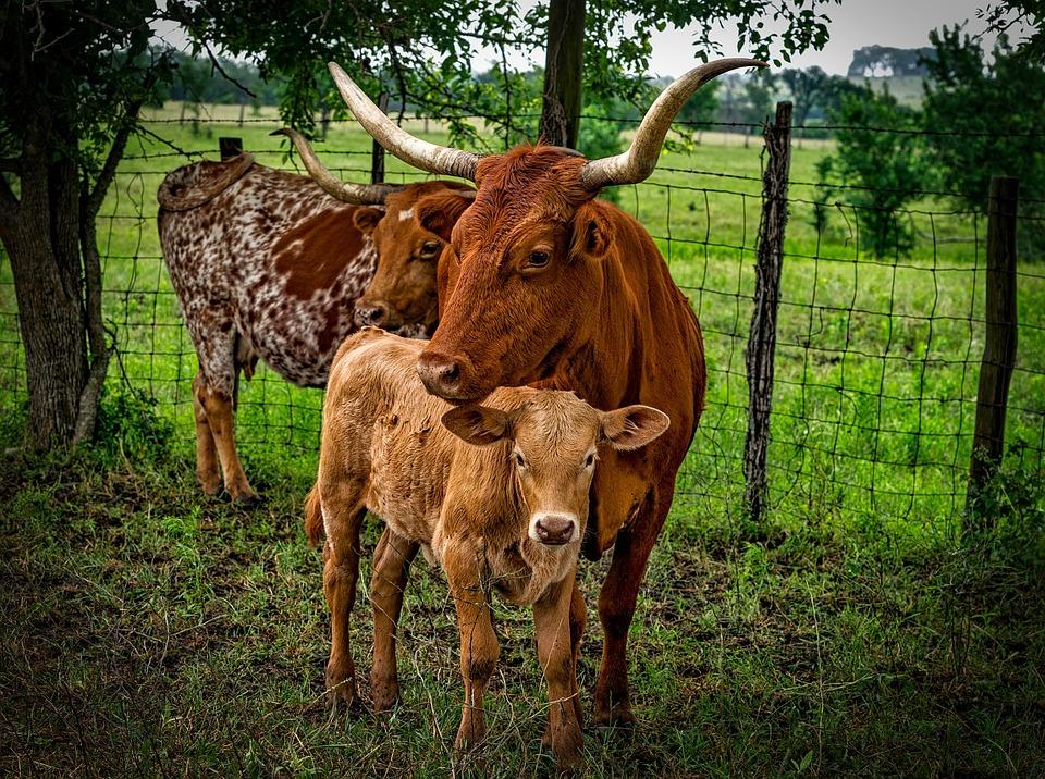 Longhorn, Cattle, Mother, Calf, Closeup, Landscape