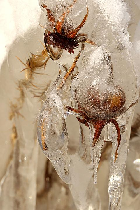 Nature, Rose Hip, Icicle, Winter, Frost, Closeup
