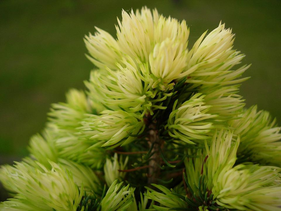 Spruce, Tree, Needles, Nature, Sprig, Needle, Closeup