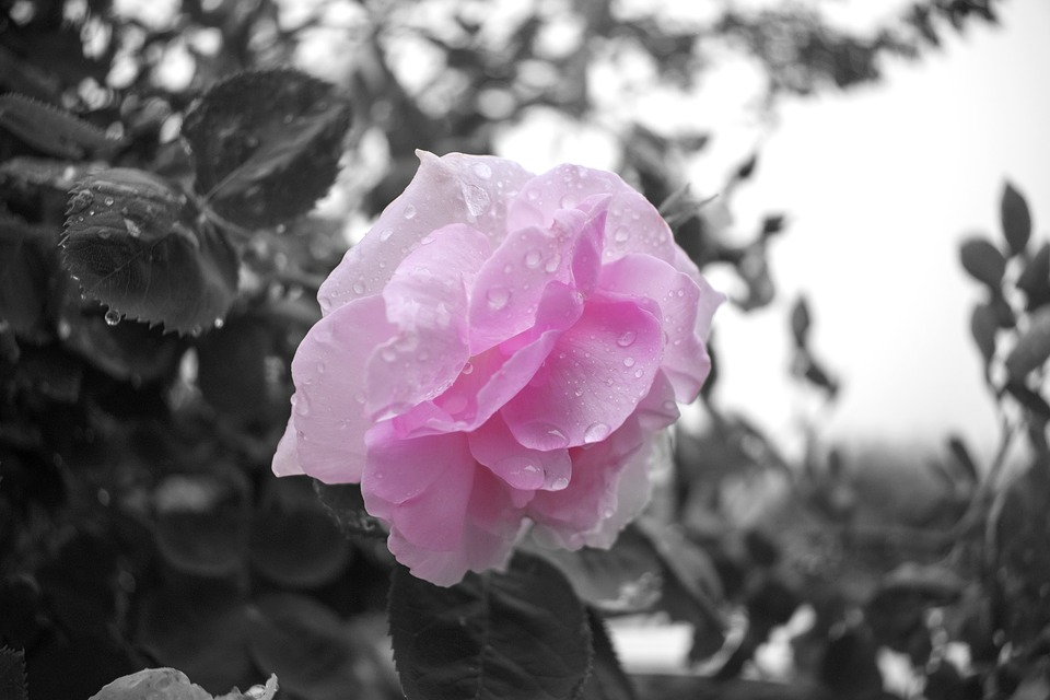 Black And White, Closeup, Flower, Pink, Garden, Roses