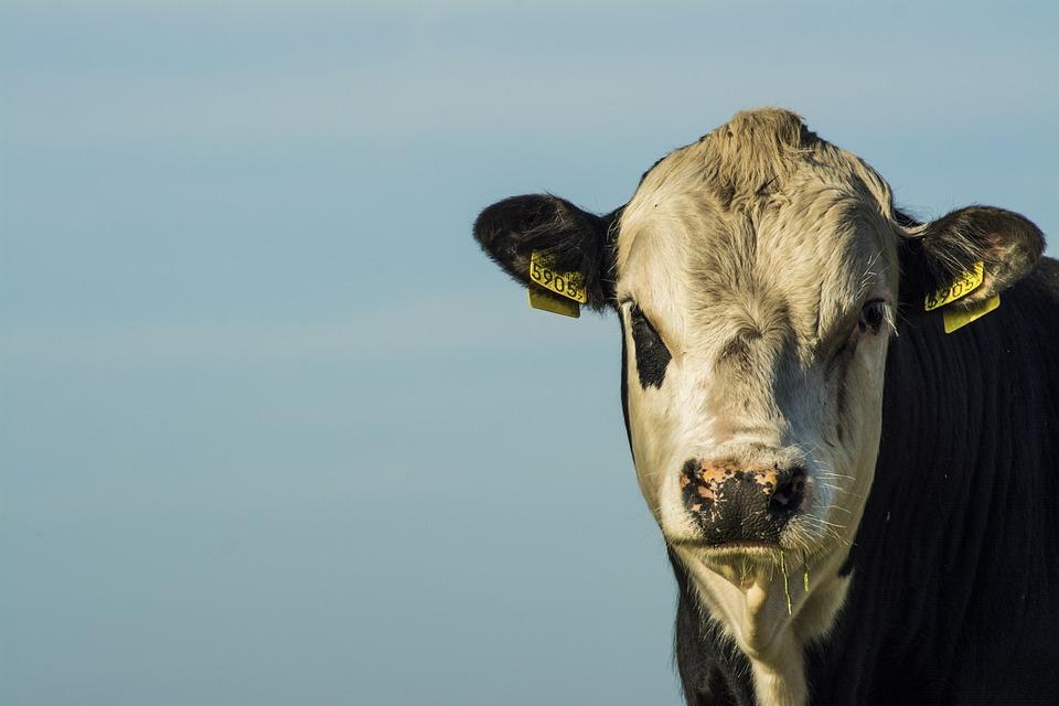 Bull, Closeup, Farm, Summer, Animal, Nature, Portrait