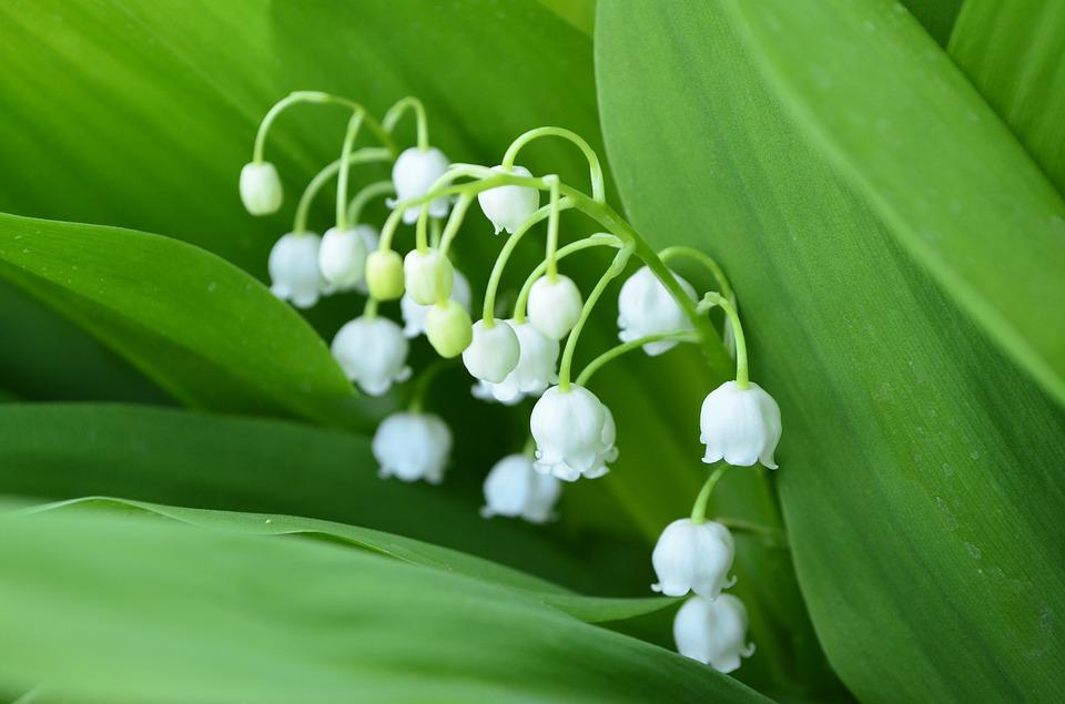 Free photo closeup spring flowers lily of the valley flower max pixel lily of the valley flower closeup spring flowers mightylinksfo