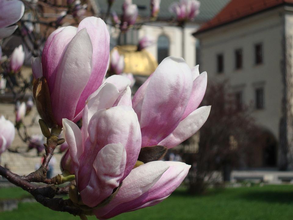 Flower, Magnolia, Spring, Flourishing, Pink, Closeup