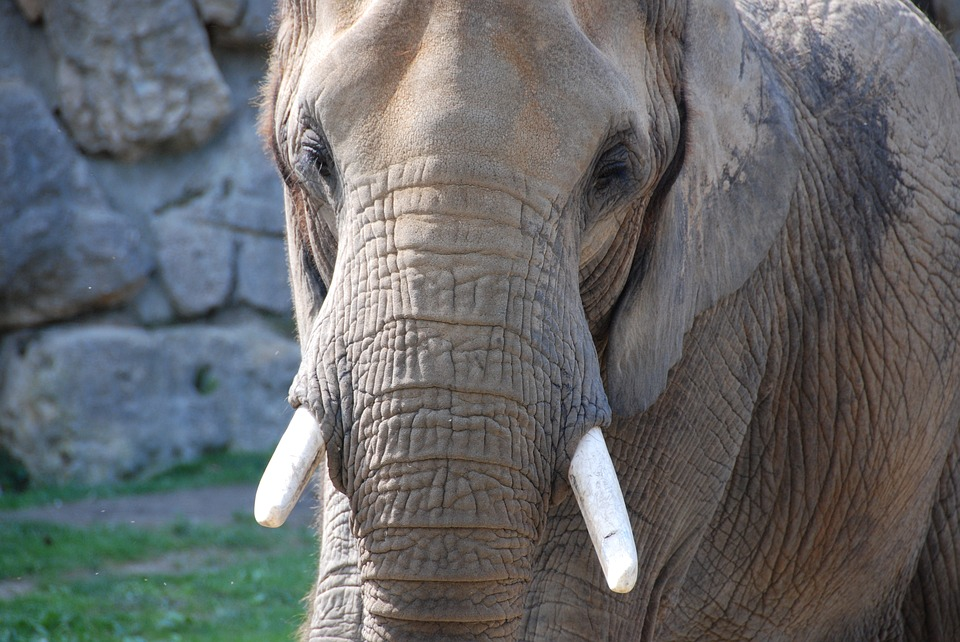Elephant, Tusks, Zoo, Closeup