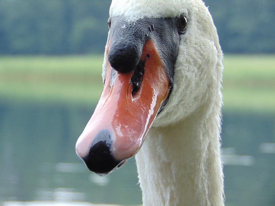 Swan, Beak, Closeup, Water Bird