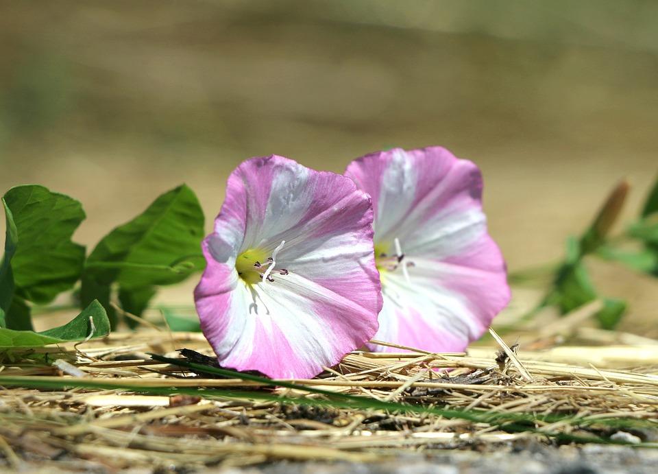 Free photo closeup weed bindweed parasite pink flowers max pixel bindweed flowers weed parasite closeup pink mightylinksfo