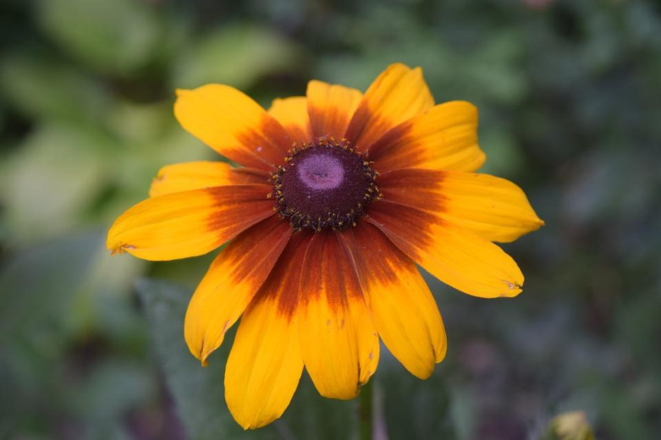 Flower Yellow, Daisy Yellow, Yellow, Daisy, Closeup