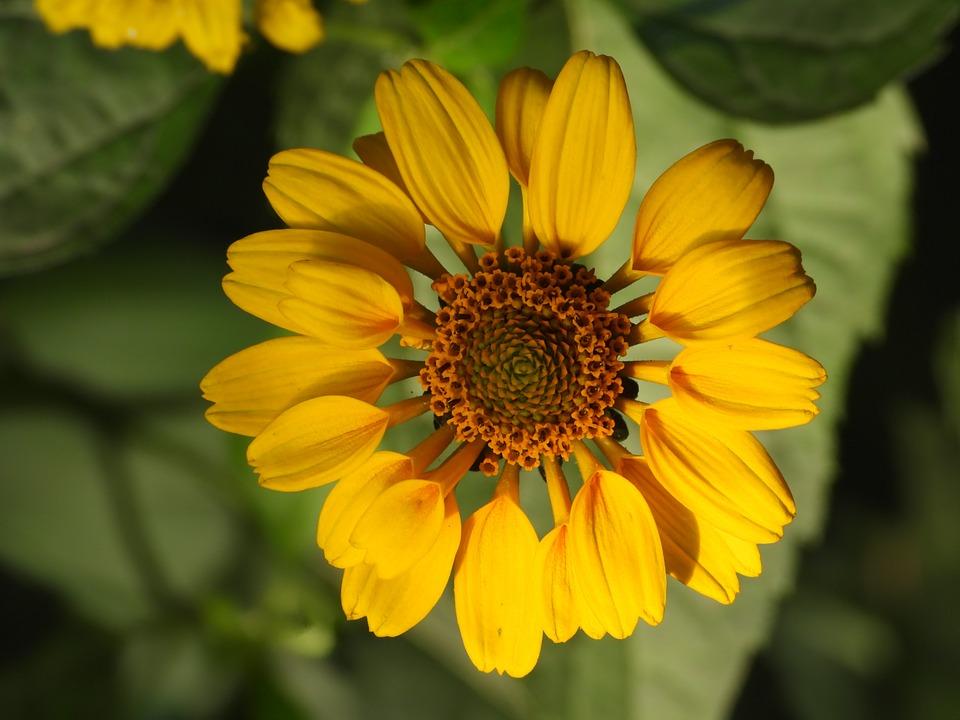 Zinnia, Flower, Yellow, Garden, Nature, Summer, Closeup