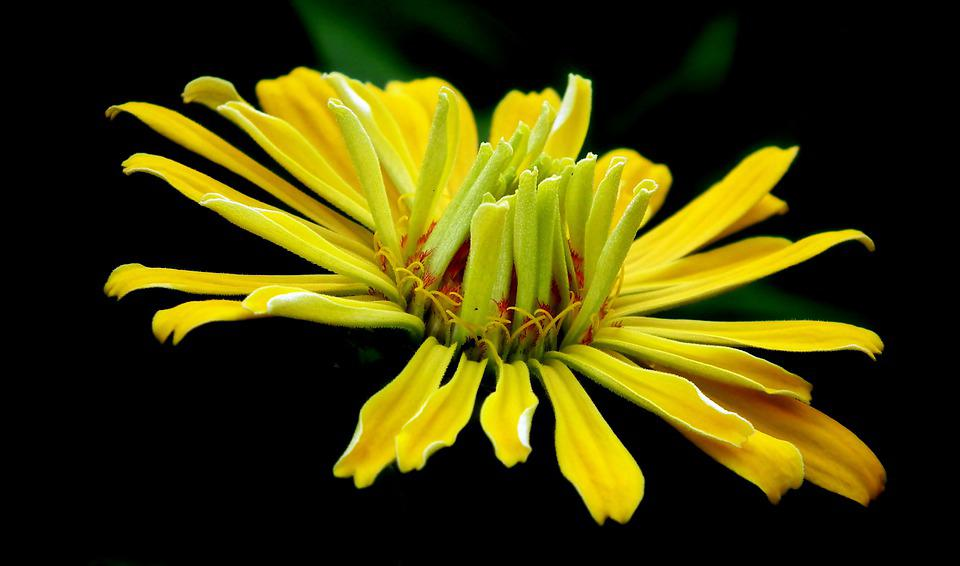 Zinnia, Flower, Yellow, Garden, Nature, Macro, Closeup