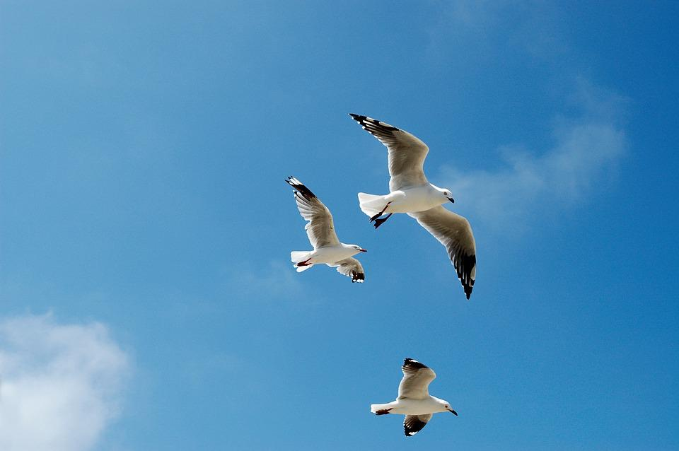 Seagulls, Gulls, Sky, Blue, Flying, Birds, Cloud