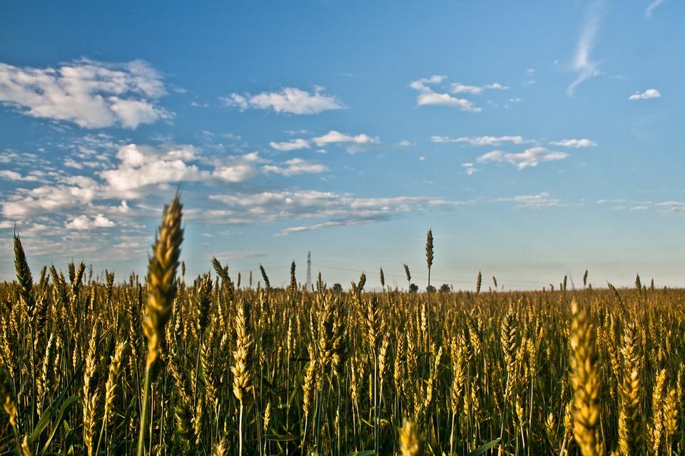Grain, Field, Sky, Blue, Clouds, Summer