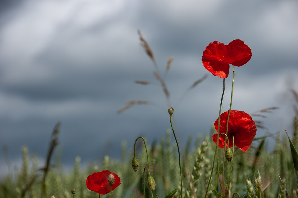 Poppies, Sky, Nature, Poppy Flower, Red, Clouds