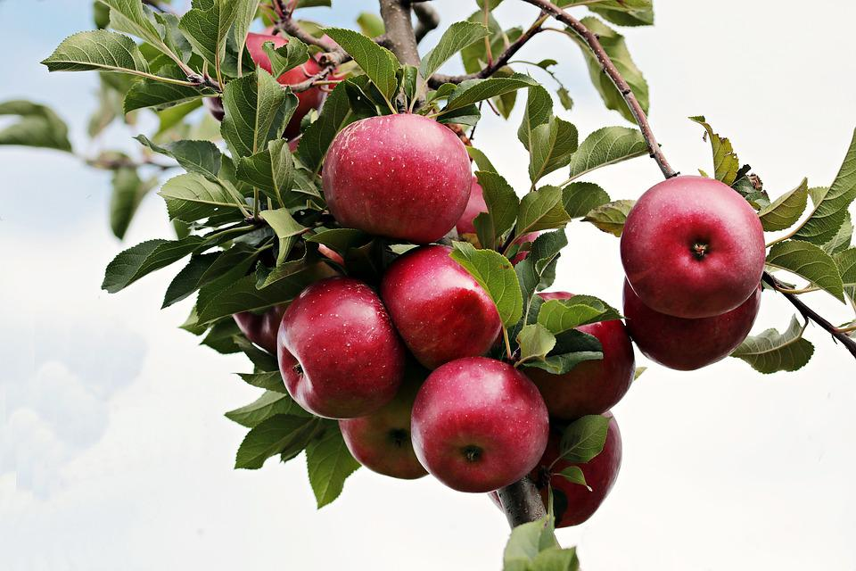Apple, Red, Red Apple, Apple Orchard, Sky, Clouds