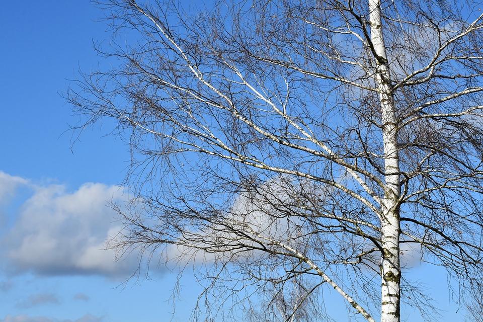 Tree, Birch, Sky, Clouds, Sun, Nature, Wood, Winter