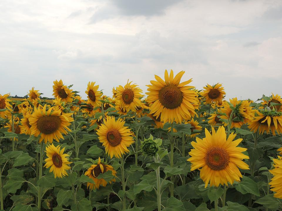 Sunflower, Sky, Clouds, Bright, Flower, Yellow Flowers