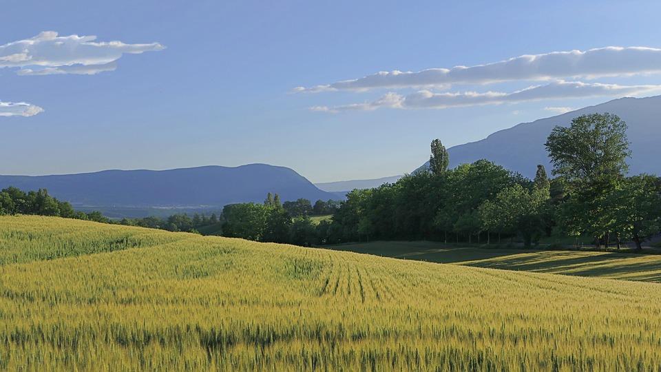 Wheat, Field, Wheat Field, Grass, Sky, Clouds, Trees
