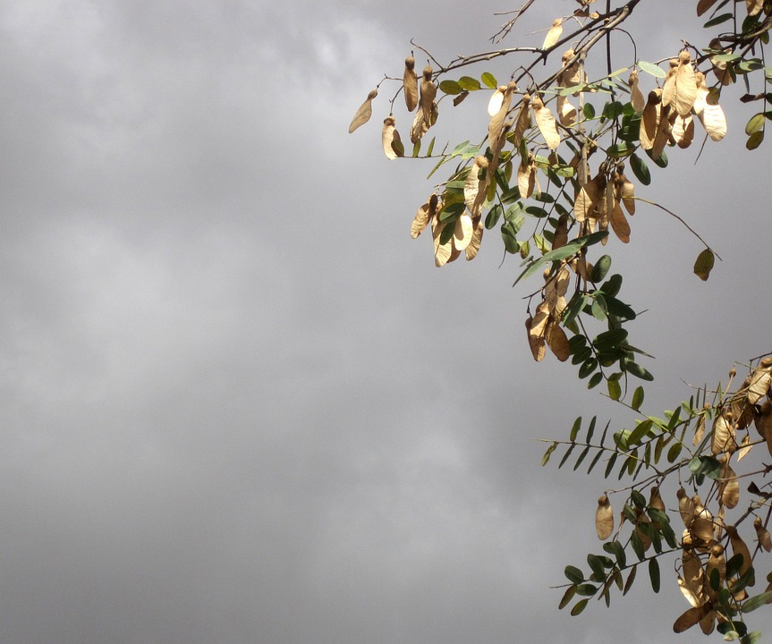 Cloudy, Overcast, Purple Sky, Branches, Sycamore Tree