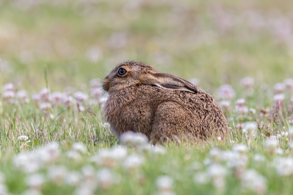 Young Hare, Leveret, Hare, Baby Hare, Grass, Clover