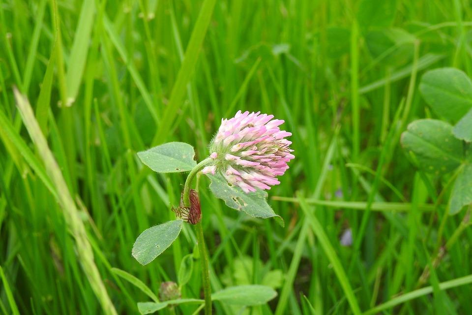 Lawn, Nature, Plant, Field, Clover, Clover Flower