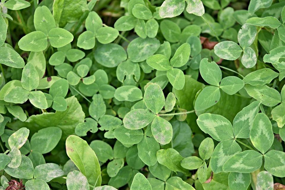 Klee, Shamrocks, Clover Meadow, Green, Lucky Charm