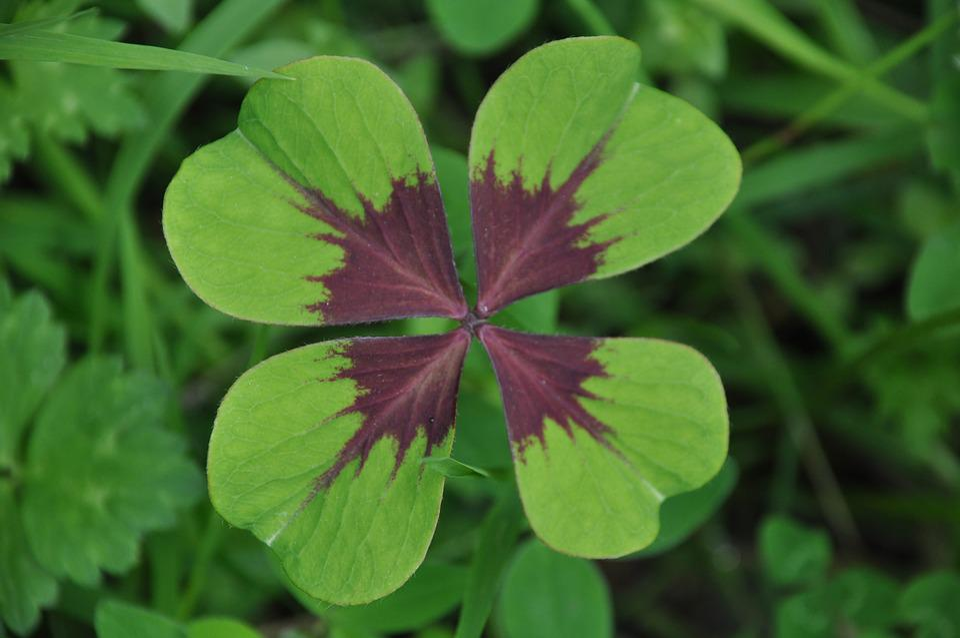 Clover, Four-leaf Clover, Chance, Prairie, Field