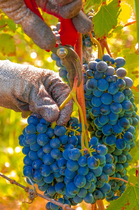 Grapes, Harvest, Vines, Cluster, Black Grape