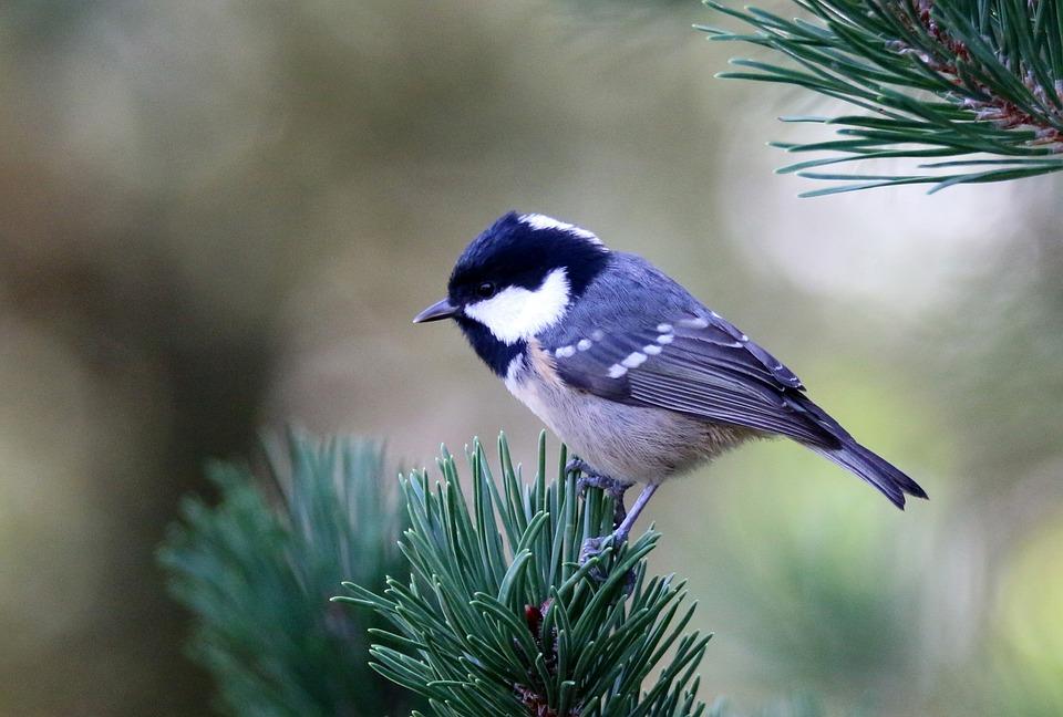 Coal Tit, Bird, Spruce Needle