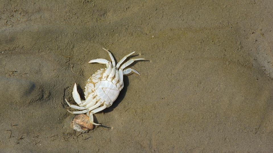 Crab, Corpse, Beach, Sdcovka, The Clams, Coast