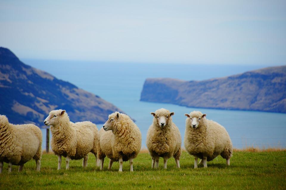 New Zealand, Sea, Sheep, Coast