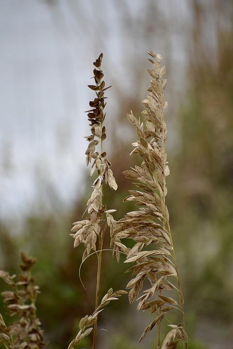 Sea Oat Grass, Weed, Sand, Shore, Beach, Coast, Ocean