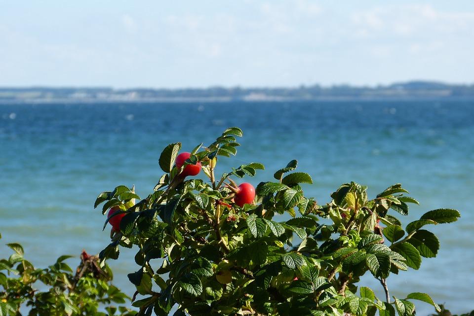 Baltic Sea, Rose Hip, Bush, Coast, Plant
