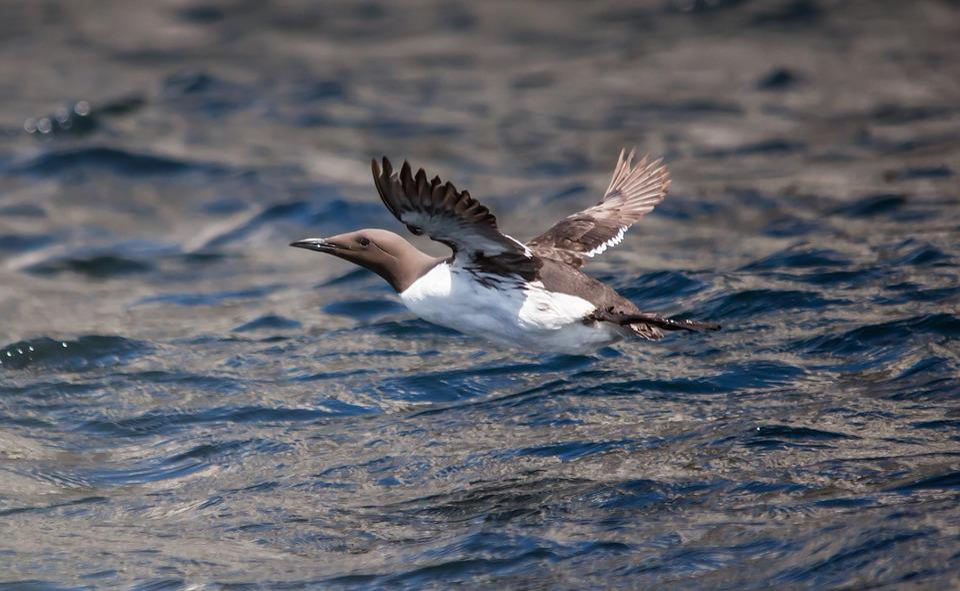 Guillemot, Sea, Bird, Nature, Coast, Wildlife, Feathers