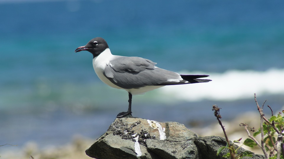 Seagull, Bird, British Virgin Islands, Coastal