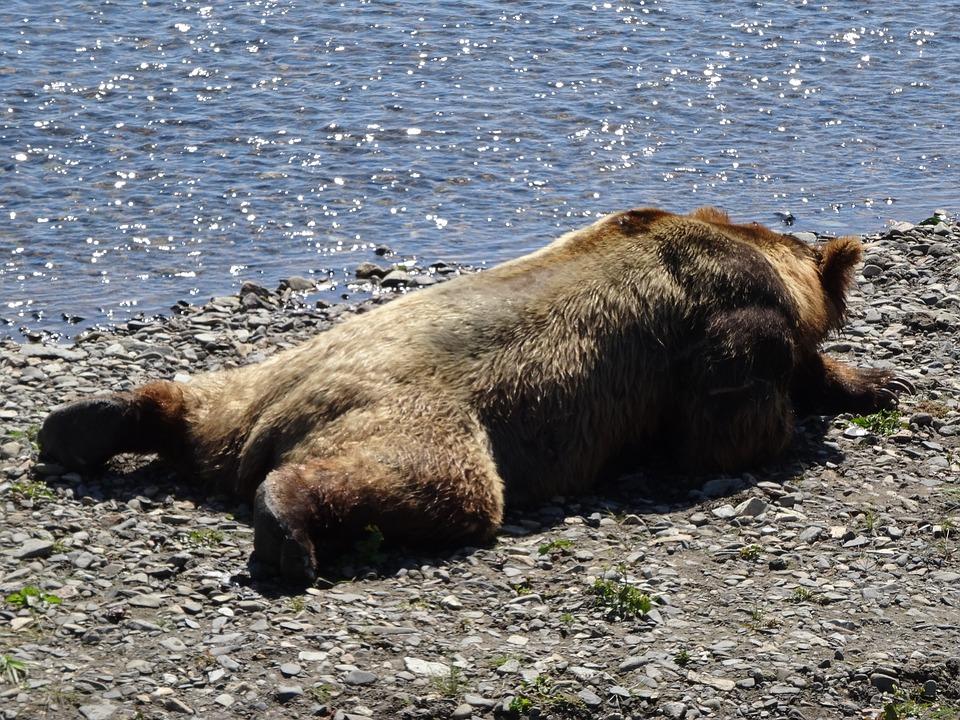 Coastal Brown Bear, Alaska, Bear