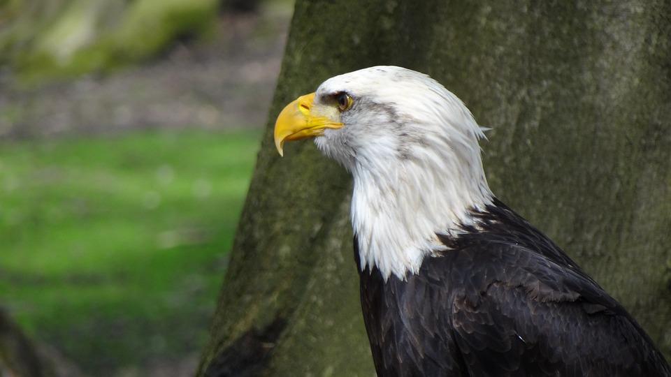 Bald Eagles, Adler, Coat Of Arms, Bird, Animal