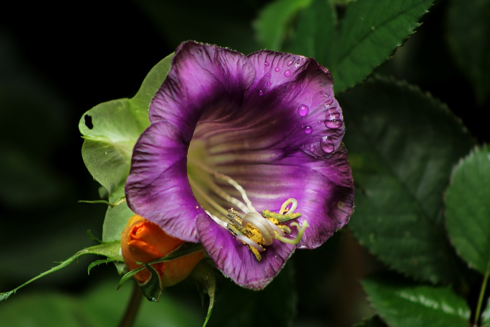 Cobea Scandens, Cup-and-saucer, Flower, Garden, Purple