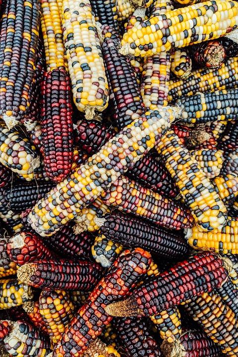Corn, Cobs, Cobs Of Corn, Vegetables, Harvest, Produce