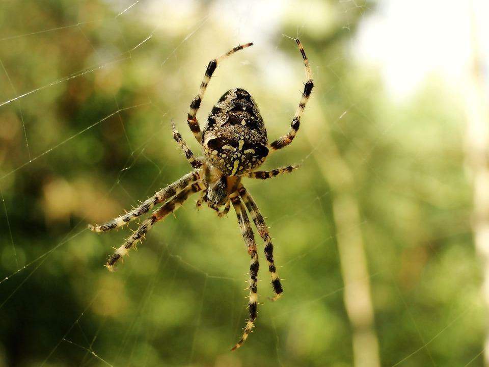 Spider, Spider's Web, Arachnid, Cobweb, Insect, Animals