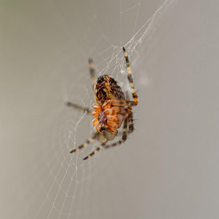 Spider, Animals, Cobwebs, Macro, The Insect, Close