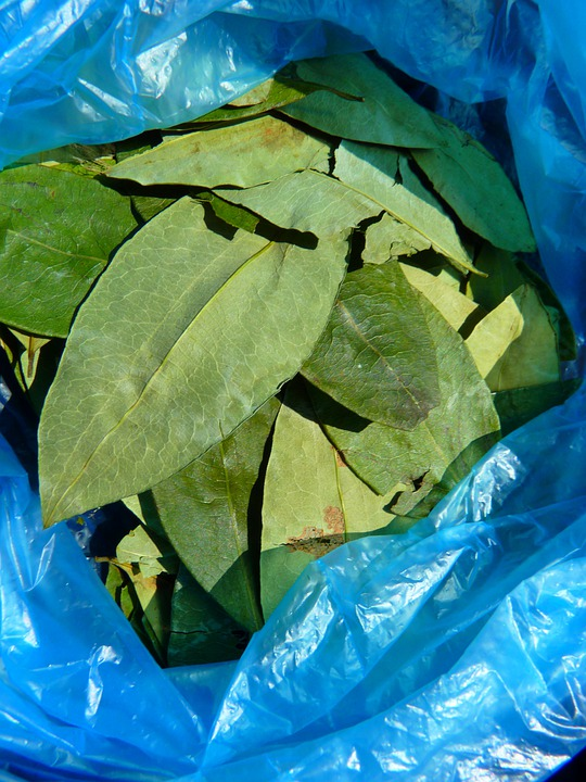 Coca Leaves, Coca, Plant
