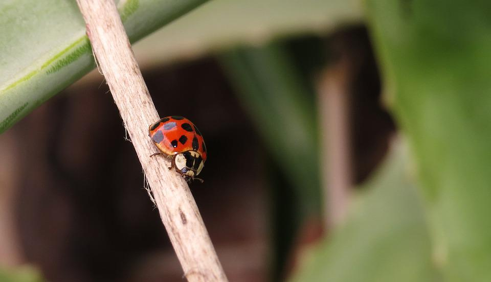 Insect, Coccinellidae, Beetle, Nature, Plant, Armenia