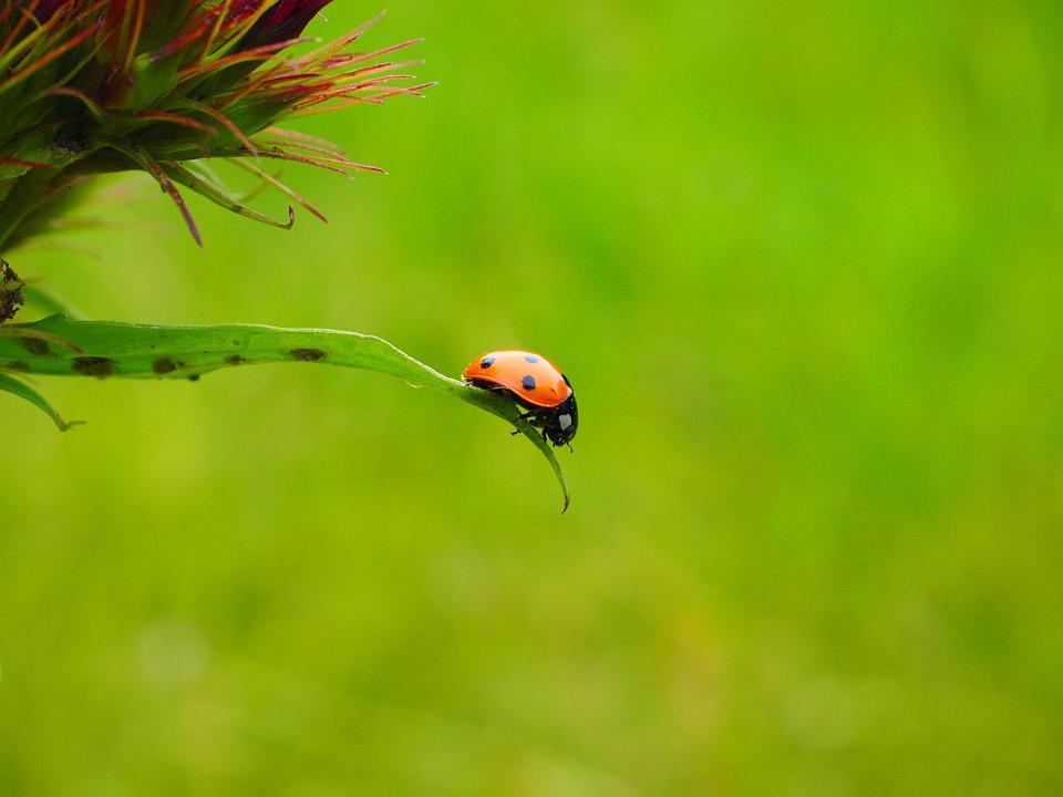 Ladybug, Coccinellidae, Beetle, Elytron