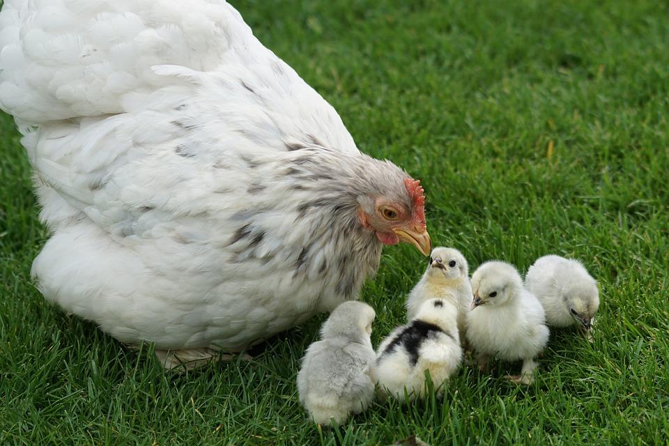 Cochin, Zwergcochin, Chicks, Chicken, Hen, Poultry