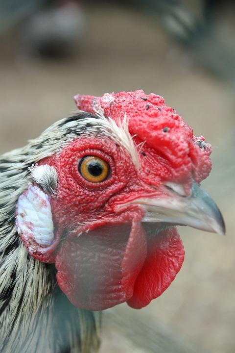 Cock, Beak, Bird, The Hen, Pen, Fly, Cage, Eye