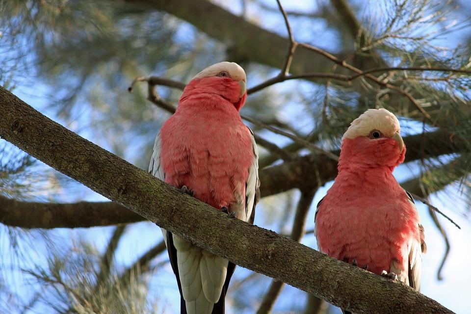 Cockatoo, Galah, Australia, Pair