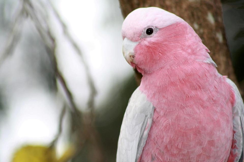 Galah, Parrot, Cockatoo, Bird, Pink And Grey Cockatoo