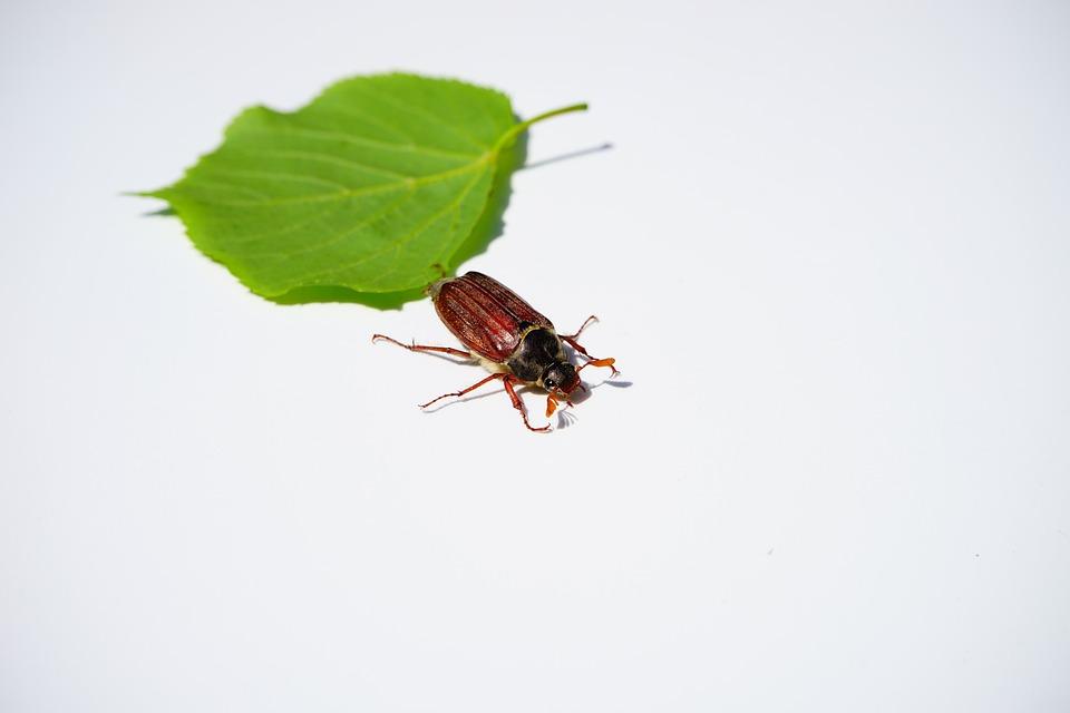 Cockchafer, Maikäfer, Beetle, Insect, Krabbeltier