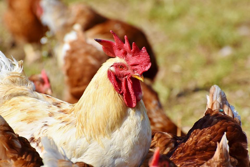 Hahn, Chickens, Poultry, Cockscomb, Chicken, Gockel