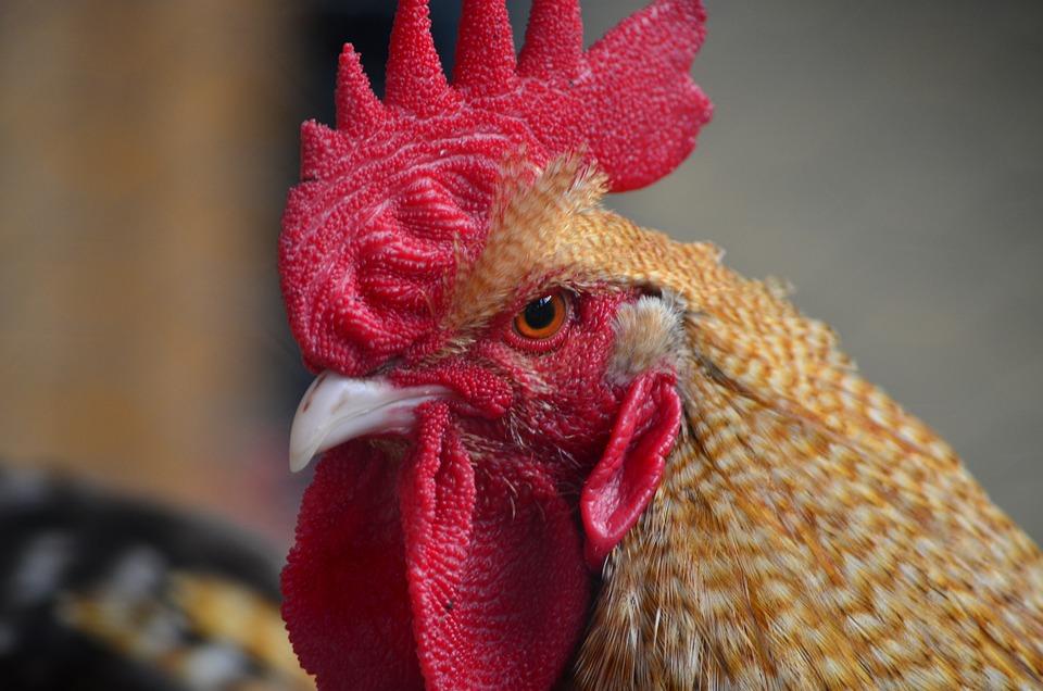 Hahn, Gockel, Poultry, Cockscomb, Livestock